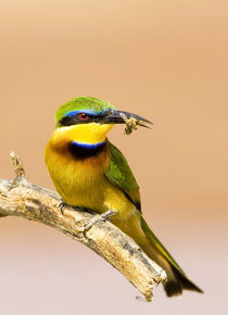 Close-up of little bee-eater bird on limb with bee in beak by Danita Delimont