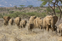 Elephants walking in a line by Danita Delimont
