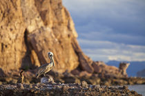 Brown pelican and immature blue footed booby on rock on Isla Carmen near Loreto Mexico von Danita Delimont
