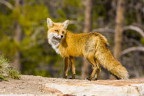 Portrait of red fox mother by Danita Delimont