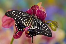 Washington Tropical Butterfly Photograph of Papilio xuthus the Chinese Yellow Swallowtail on Orchid von Danita Delimont