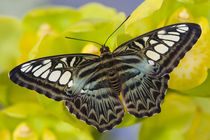 Washington Tropical Butterfly Photograph of Parthenos sylvia lilacinus the B lue Clipper for Asia von Danita Delimont