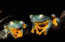 Leaf frogs (Agalychnis craspedopus) by Danita Delimont