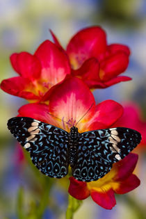 Sammamish Washington Tropical Butterflies photograph Hamadryas arinome the Starry Night Butterfly on beautiful fresia flower by Danita Delimont