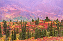 Fall color in Denali National Park by Danita Delimont