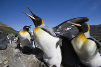 King Penguins (Aptenodytes patagonicus) fighting over nesting space in crowded rookery along Right Whale Bay von Danita Delimont