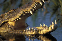 Nile Crocodile (Crocodylus niloticus) bares teeth in Khwai River at sunset von Danita Delimont