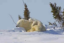 Polar bear cub climbing on mother by Danita Delimont