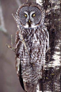Great Gray Owl on an Aspen tree by Danita Delimont