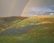 Hills with poppies and lupine with double rainbow by Danita Delimont
