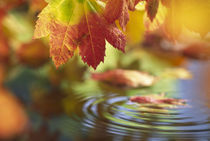 Close-up of autumn vine maple leaves reflecting in pool of water with ripple by Danita Delimont
