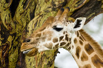 Rothschild's Giraffe at Lake Nakuru NP by Danita Delimont