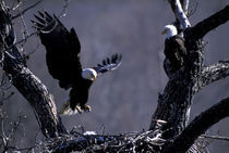 American bald eagle at nest with babies Halieaetus leucocephalus von Danita Delimont