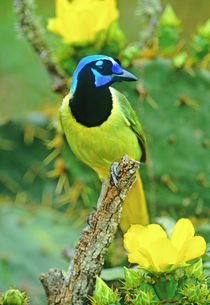 Green jay perched on dead mesquite branch among opuntia flowers von Danita Delimont