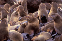 Northern fur seals (Callorhinus ursinus) by Danita Delimont