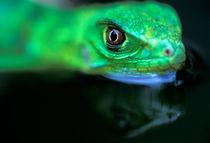 Baby Green Iguana (Iguana iguana) von Danita Delimont