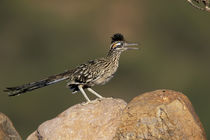 Greater Roadrunner von Danita Delimont
