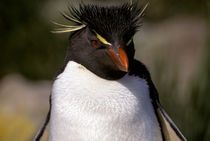 Rock-hopper Penguin by Danita Delimont