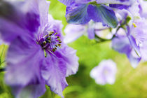 Larkspur Close up growing in Mass by Danita Delimont