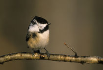 Black-capped chickadee perched in winter wind von Danita Delimont