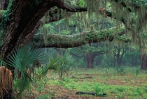 Live oaks covered in Spanish moss and ferns by Danita Delimont