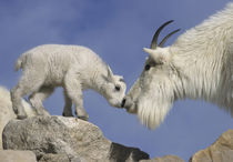 Mountain goat mother and newborn kid greeting by Danita Delimont