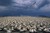 Cape Gannet colony (Sula capensis) by Danita Delimont