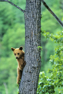 Cinnamon colored black bear in tree in Waterton Lakes National Park in Alberta Canada von Danita Delimont