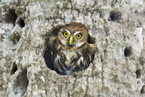 Ferruginous pygmy owl in cavity nest by Danita Delimont