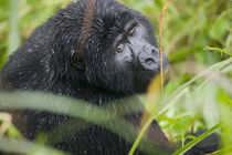 Adult Mountain Gorilla (Gorilla gorilla beringei) peers through tall grass in rainforest von Danita Delimont