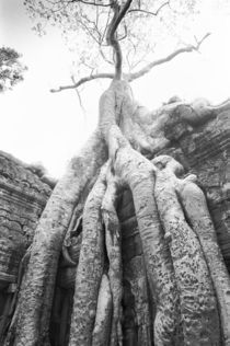 Tree Ta Prohm by Danita Delimont
