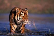 Bengal tiger (Panthera tigris); captive by Danita Delimont
