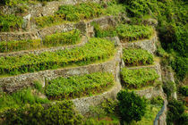 The terraced vineyards of Cinque Terra von Danita Delimont