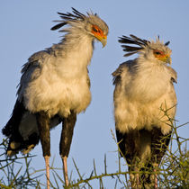 Secretary Birds at Ndutu in the Ngorongoro Conservation Area von Danita Delimont