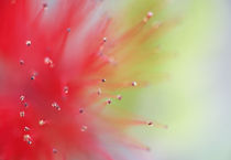 Abstract detail of Baja fairy duster shrub von Danita Delimont
