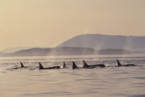 San Juan Islands Orca whales surfacing by Danita Delimont