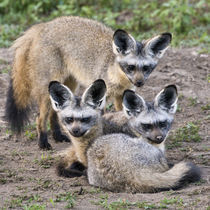 Bat-Eared Foxes at Ndutu in the Ngorongoro Conservation Area by Danita Delimont