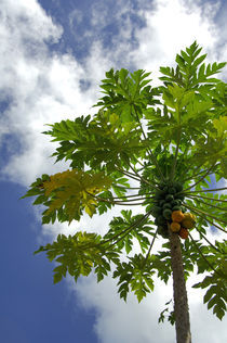 Breadfruit tree von Danita Delimont