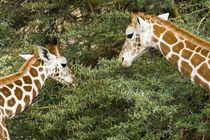 Rothschild's Giraffes at Lake Nakuru NP by Danita Delimont