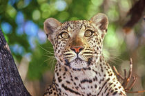 Wild leopard by Danita Delimont