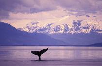 Humpback whale (Megaptera novangliae) von Danita Delimont