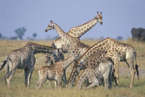 Herd of Giraffe (Giraffa camelopardalis) drink from water hole by Chobe River by Danita Delimont