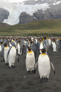King penguin (Aptenodytes patagonicus) colony in front of glacier by Danita Delimont