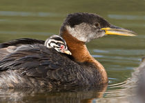 Red-necked Grebe (Podiceps grisegena) with a chick on its back von Danita Delimont