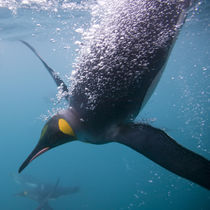 Underwater view of King Penguins (Aptenodytes patagonicus) swimming in Right Whale Bay by Danita Delimont
