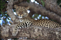 Leopard (Panthera pardus) peering from a tree by Danita Delimont