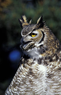 Great Horned Owl in defense mode (Bubo virginianus) von Danita Delimont