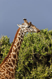 Maasai Giraffe (Giraffe Tippelskirchi) as seen in the Masai Mara by Danita Delimont