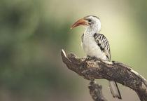 Red-billed hornbill (Tockus erythrochynchus) von Danita Delimont