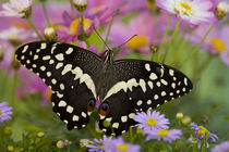 Washington Tropical Butterfly Photograph of Papilio demodocus the Orchard Swallowtail from Africa